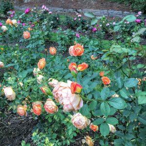 Rose Test Garden, Portland