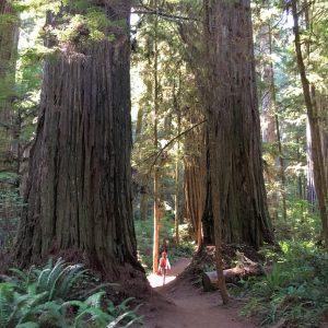 Giant Redwoods, Jedediah Smith State Park